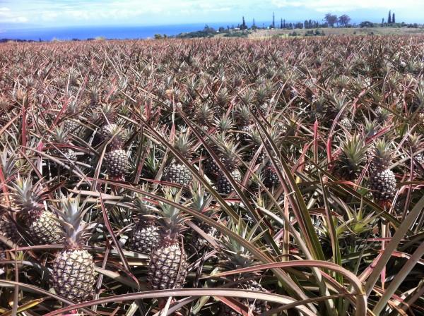 Maui Pineapple Tour 8