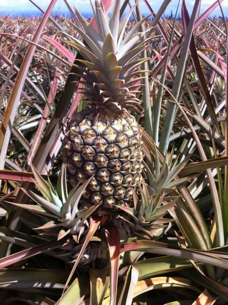 Maui Pineapple Tour 7